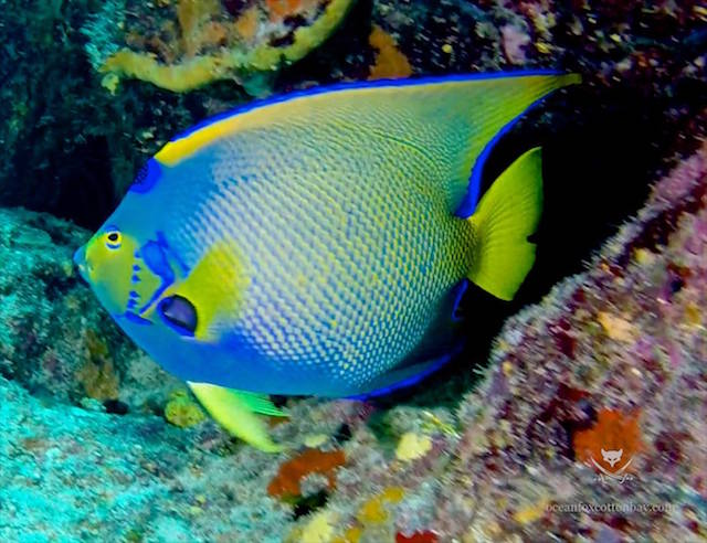 Technicolor or what - a stunning Queen Angel fish