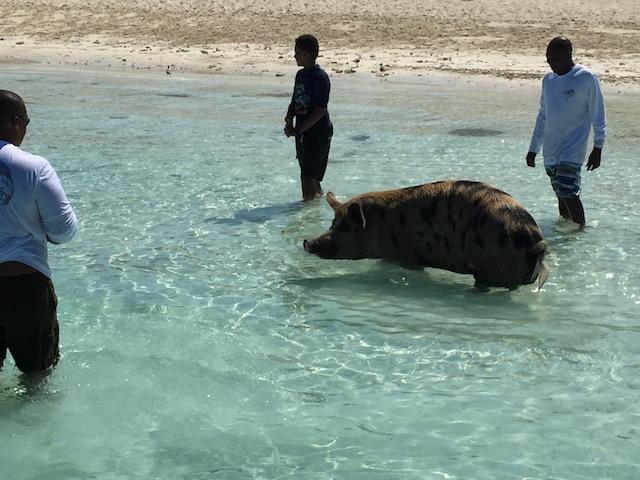 A big pig !