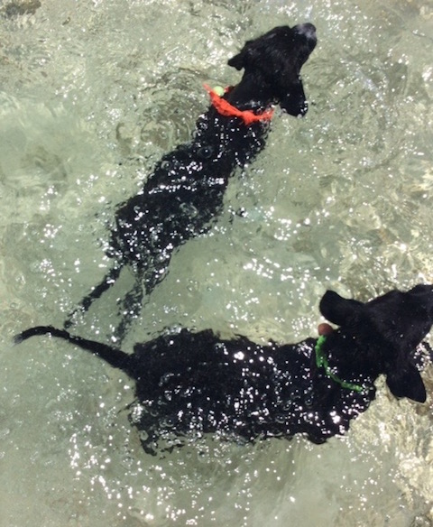 The obligatory puppy shot - Rudge and Rufus go swimming at Cocodimama....