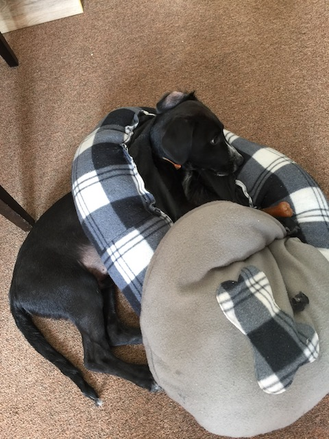 Sorry folks - you know I am going through a bit of a puppy crush phase and so here is Rudge actually wearing his office bed as a necklace - he checked out the base of it !