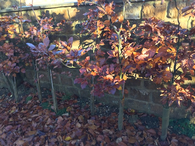 Glorious copper beech hedging where I was staying.....