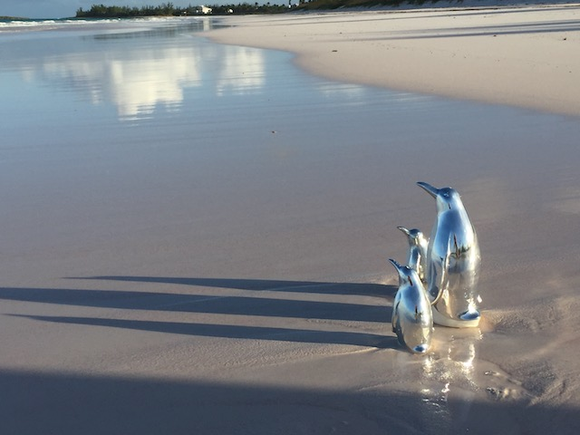 A very unusual sight - the rare silver backed penguin spotted on French leave Beach !