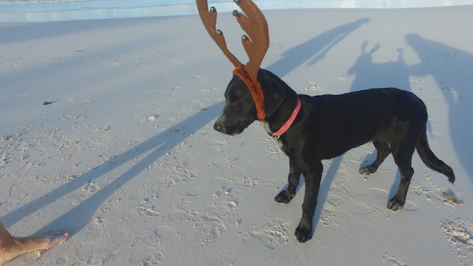 Thanks to Todd Vendituoil for one decent picture of Rudge with his antlers in place !