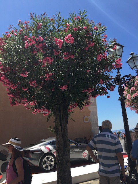 I love how they train the oleander into a tree rather than the bush we see here. Might have to try this ....