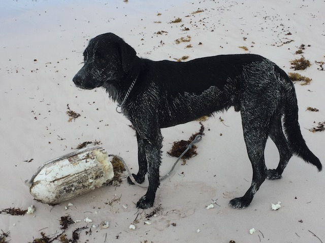 Rudge playing with a new beach find...... He doesn't care about hurricanes.....