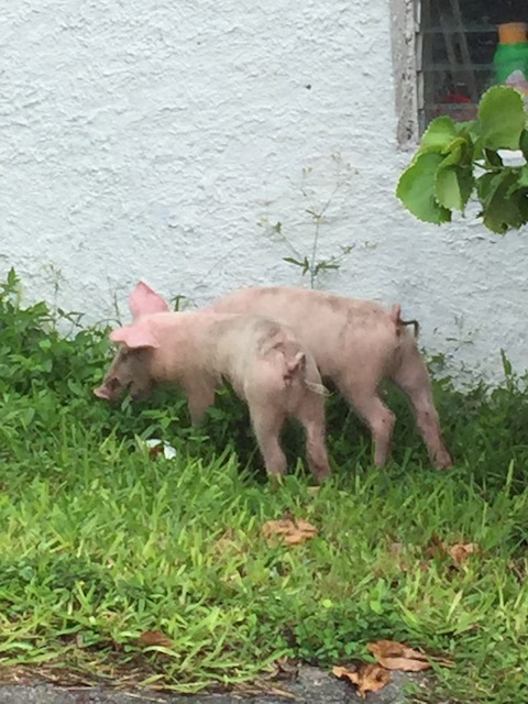I know this picture seems totally unrelated but as I was driving Mum home through Palmetto Point we spotted these 2 lovely little piglets ! It was such a random sight here and it bought a smile to our faces so I decided to include it because it was part of the day !