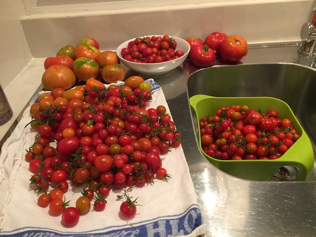 Fabulous bounty of tomatoes