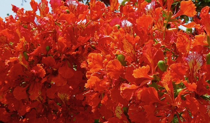 Beautiful Poinciana in bloom - still waiting for it to come this year .....